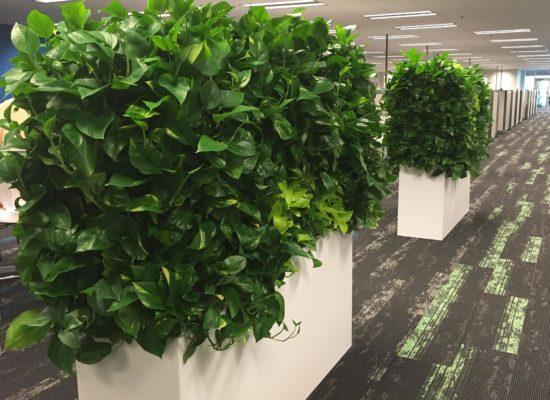 Living Hedge