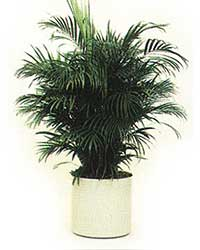 the Areca Palm is a medium light level plant