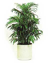 The Bamboo Palm is a low light level interior plant