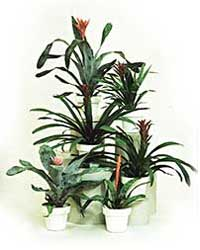 The bromeliad is a low light level interior plant