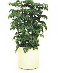 the China Doll is a high light level plant