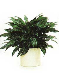 The Maria variety of the Chinese Evergreen  is a low light level interior plant