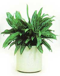 The Silver Queen variety of the Chinese Evergreen is a low light level interior plant