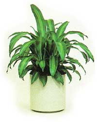 The bush form of the Corn Plant is a low light level interior plant