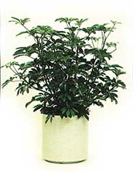 the bush form of the Dwarf Schefflera is a medium light level plant