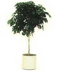 the tree form of the Dwarf Schefflera is a medium light level plant