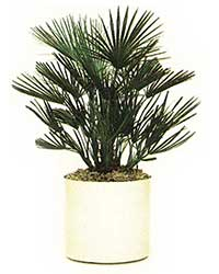the European Fan Palm is a high light level plant