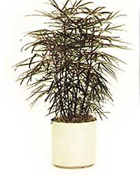 the False Aralia is a high light level plant