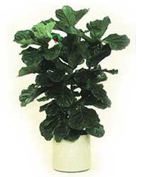 the bush form of the Fiddleleaf Fig is a high light level plant