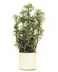 the Hawaiian Ming Aralia is a high light level plant