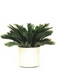 the King Sago Palm is a medium light level plant