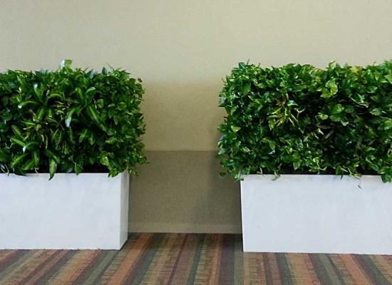 Indoor living wall hedge