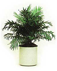 the Neanthe Bella Palm is a low light level plant