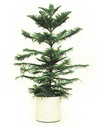 the Norfolk Island Pine is a medium light level plant