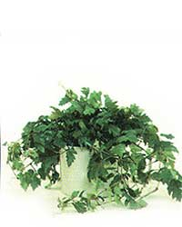 Oak Leaf Ivy is a medium light level plant