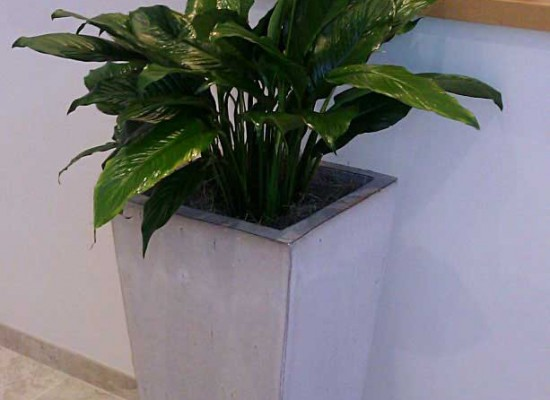 Peace lilly in a commercial lobby