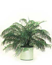 the Pigmy Date Palm is a medium light level plant