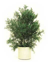 the Podocarpus is a high light level plant