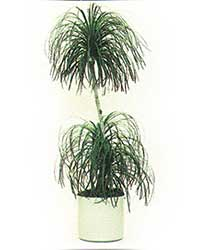 the Ponytail Palm is a medium light level plant