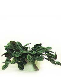 the Prayer Plant is a medium light level plant