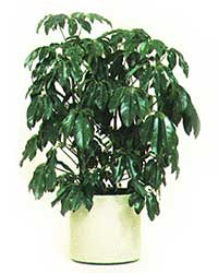 the Schefflera Amate is a medium light level plant
