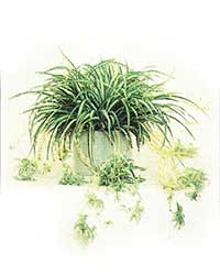 the Spider Plant is a medium light level plant