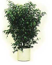 the bush form of the Weeping Fig is a high light level plant