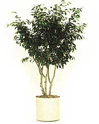 the multi-stem form of the weeping fig is a high light level plant
