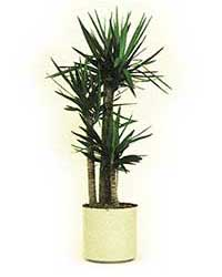 the cane form of the yucca plant is a high light level plant