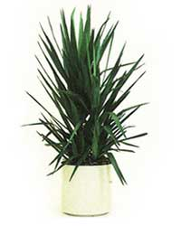 the yucca plant is a high light level plant